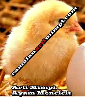 Arti Mimpi Ayam Mencicit