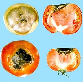 curare marciume apicale