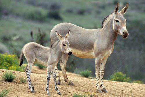 feral donkeys in australia