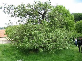 Pokok epal Sebenar Isaac Newton
