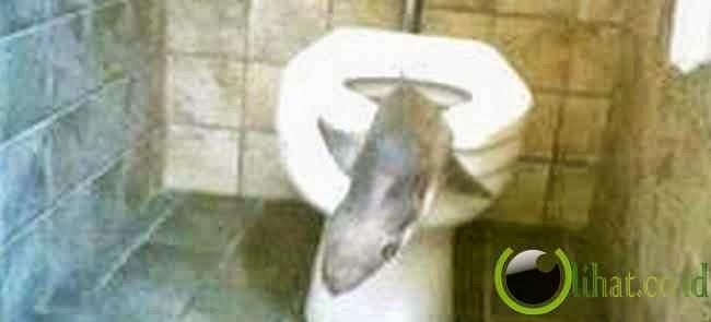 Duh,Bayi Hiu di Dalam Toilet
