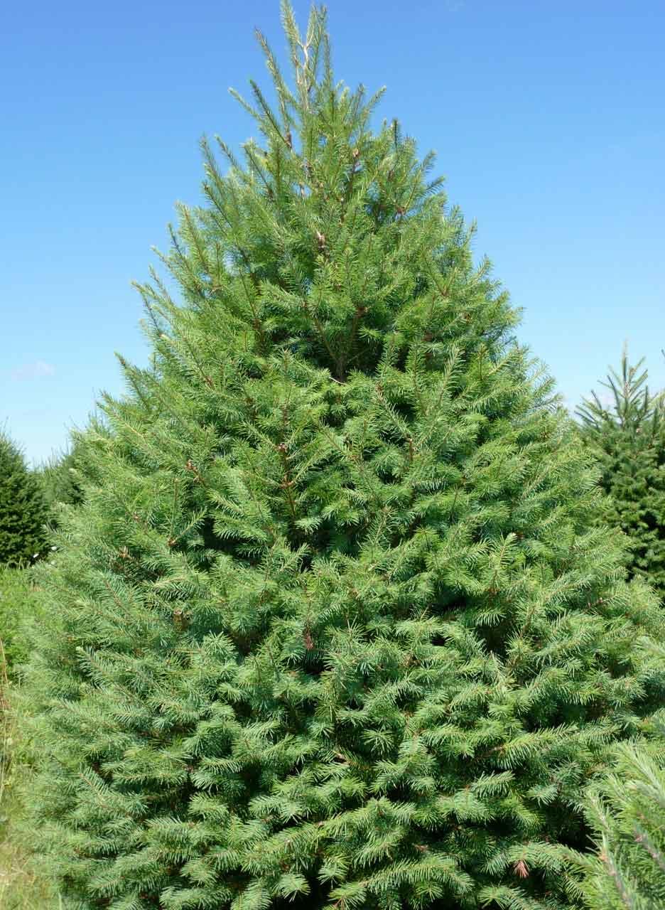 douglas fir christmas trees for sale