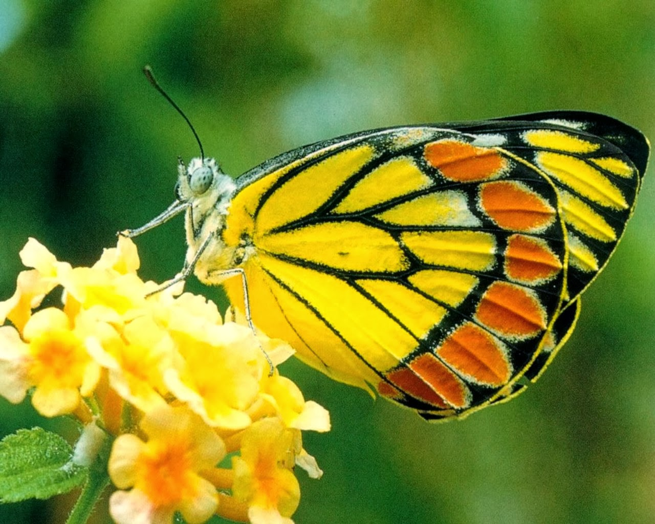 Yellow Butterfly Wallpapers Yellow Butterfly Wallpaper