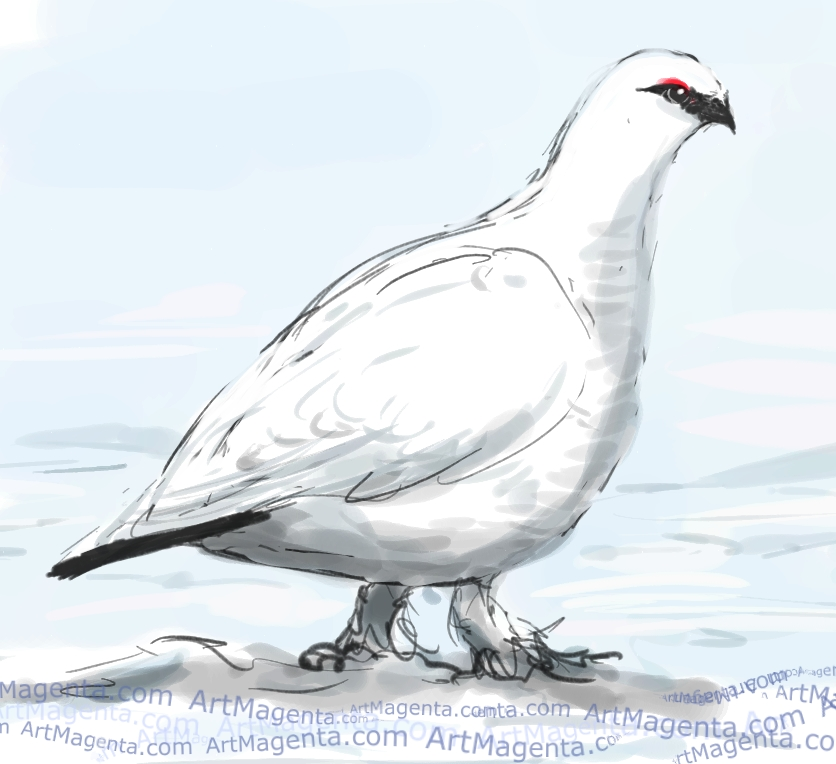 Rock Ptarmigan  sketch painting. Bird art drawing by illustrator Artmagenta