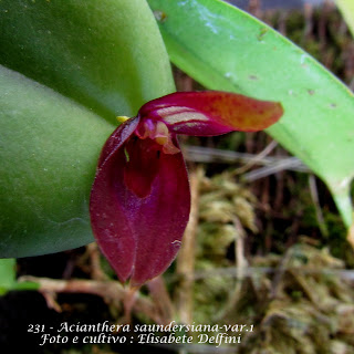 Pleurothallis saundersiana