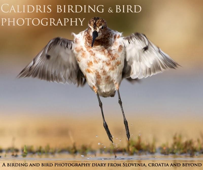 Calidris birding and bird photography