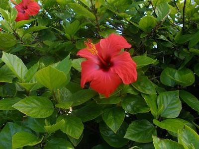 Nacer de la tierra 09 07 12 - Rosas chinas ...