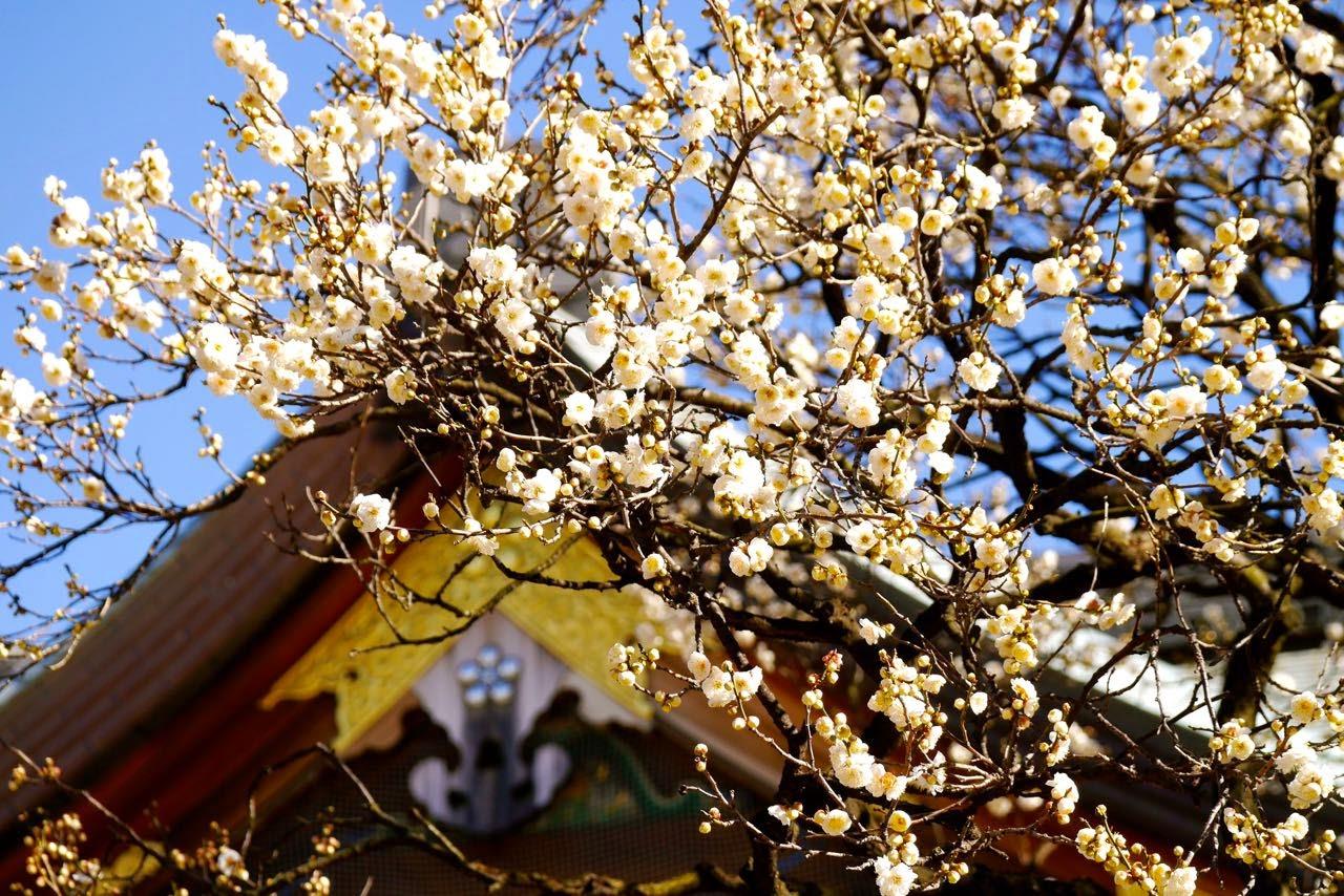 梅花, 湯島天神, 梅まつり