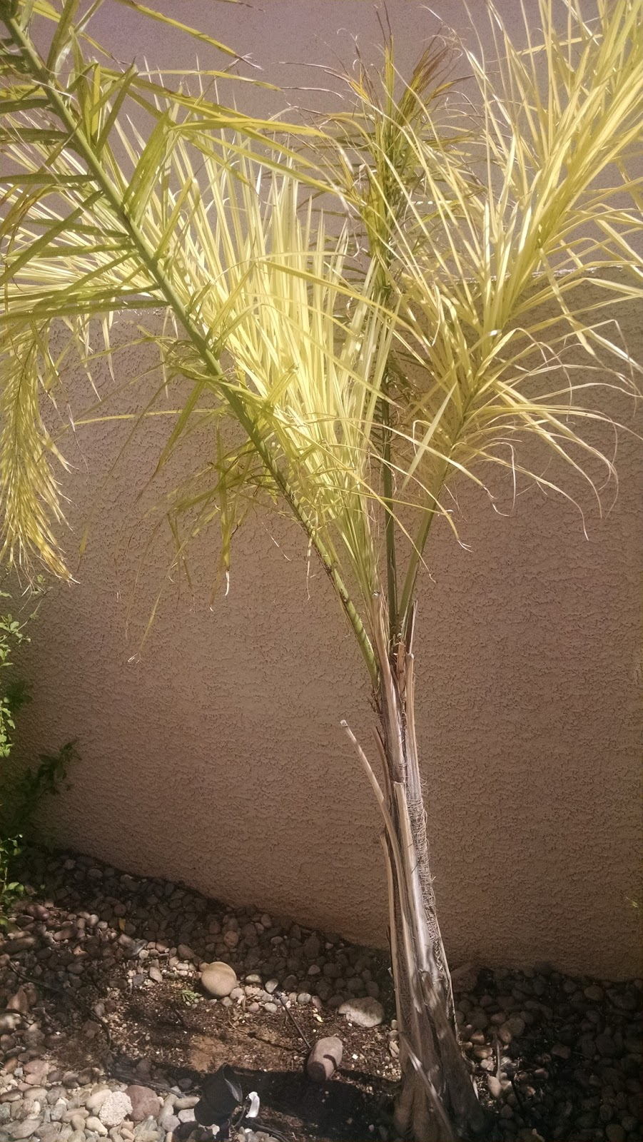 Xtremehorticulture Of The Desert Why Is My Queen Palm Yellow