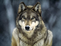 http://animals.nationalgeographic.com/animals/mammals/wolf/