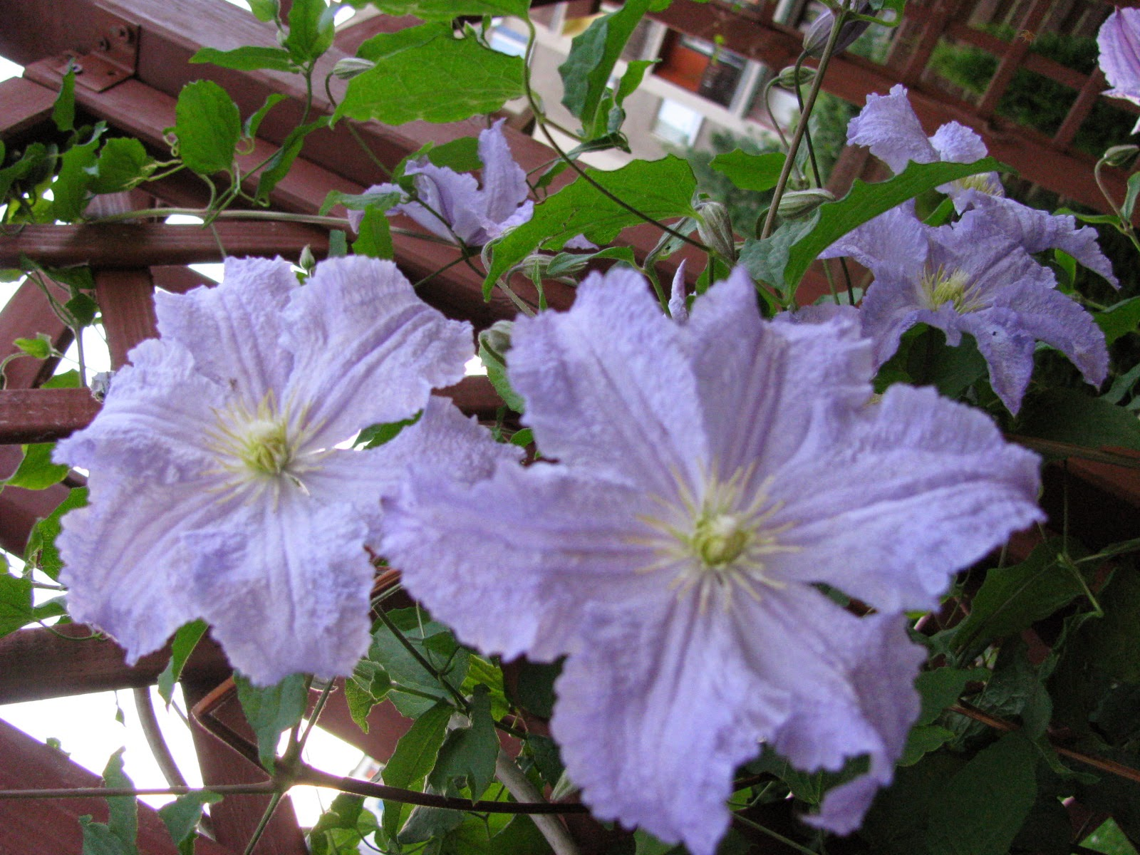 Powojnik-clematis-blue-angel