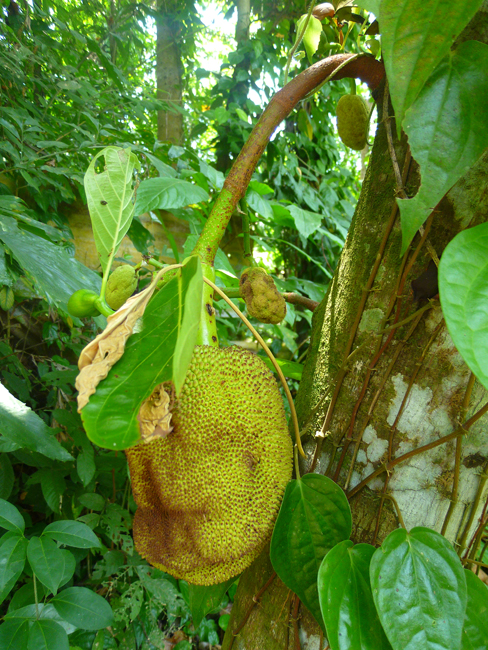 Jack fruit (Nangka)
