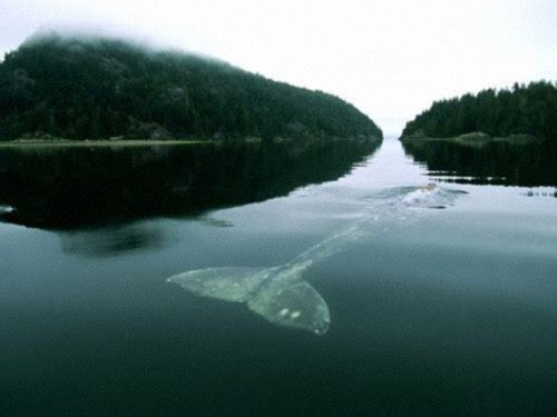 ANTEBELLUM BLOG: THE LONELIEST WHALE IN THE WORLD