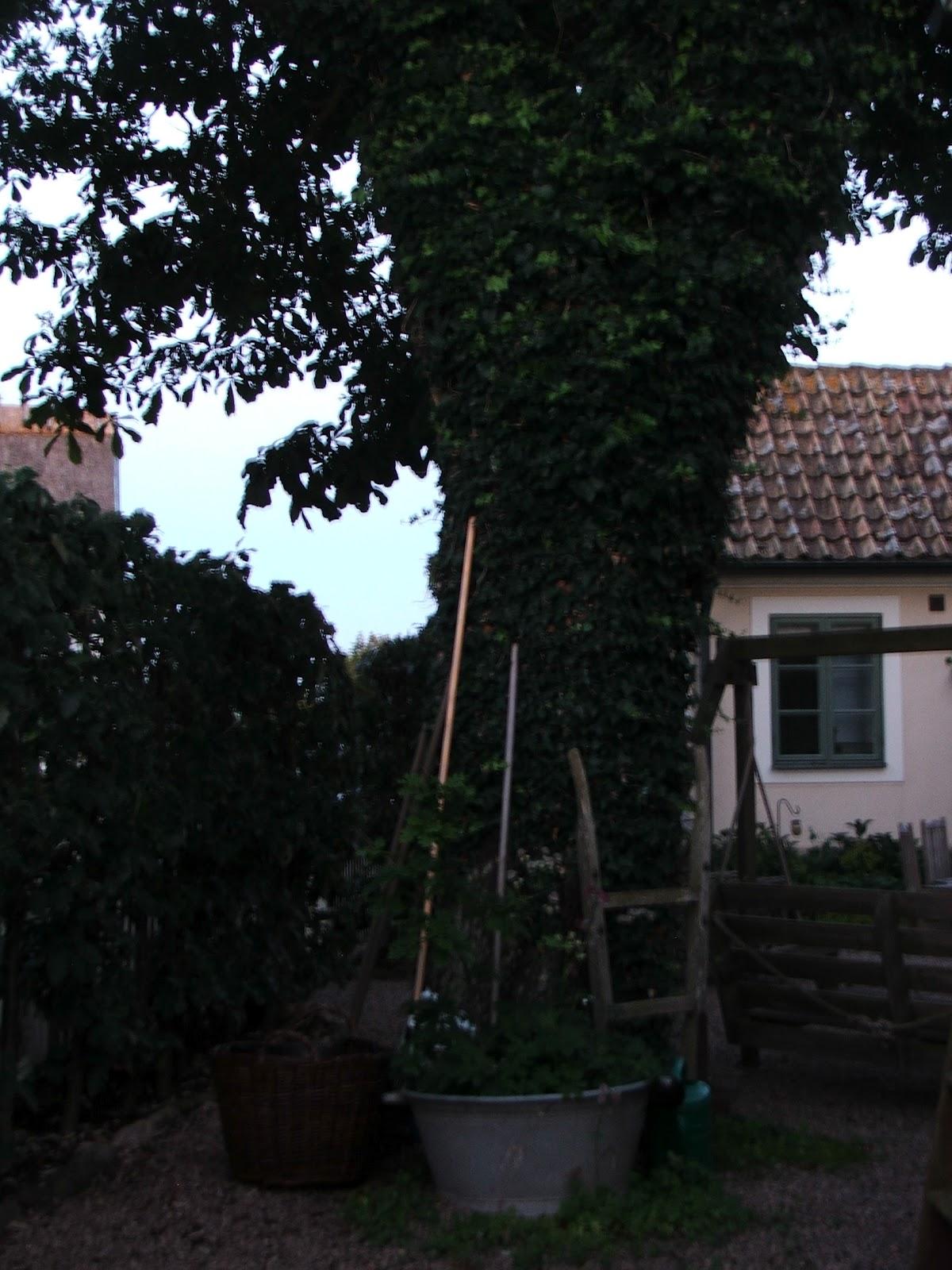 Rosor och akvileja, himla trädgård: ett träd av murgröna