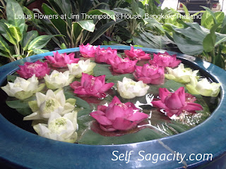 grow pink and white sunflower lotus flowers in a pot