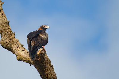 Wedge Tailed Eagle - Aquila audax
