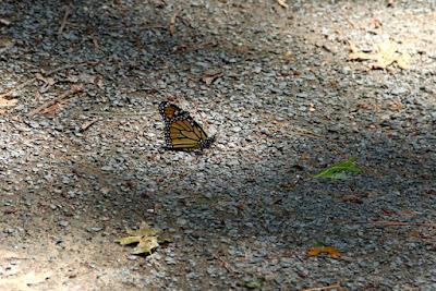 monarch butterfly in a Minnesota driveway