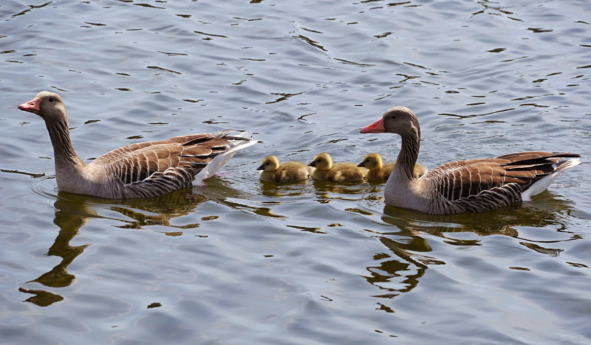 Floating canada goose nest for Swimming chicken