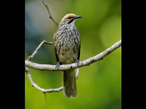 Foto Burung Cucakrowo Terbaik