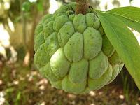Pinha, Annona squamosa