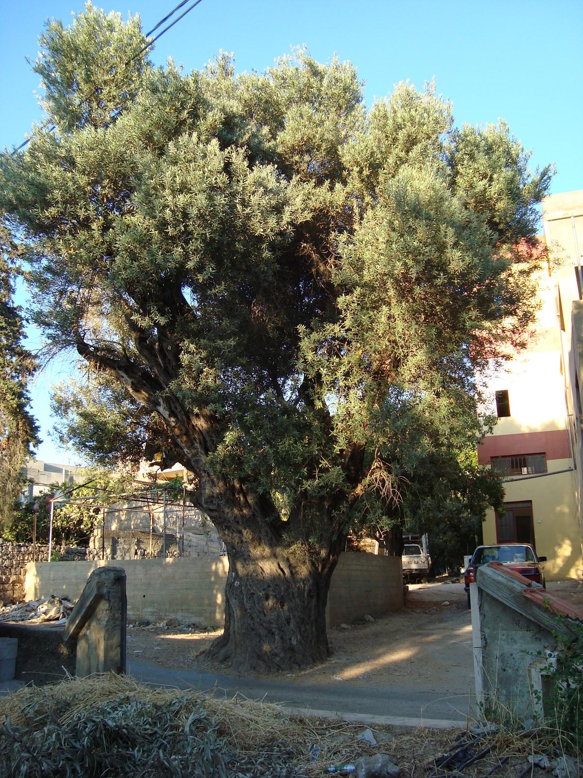 Environnement liban m diterran e afrique la route de l 39 oliver au liban - Psylle de l olivier ...
