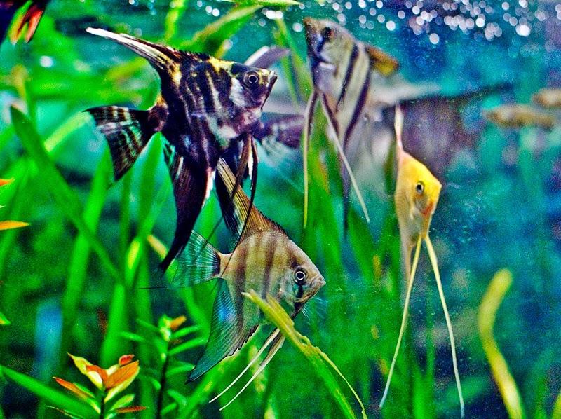 Ikan Marble Veil Angel