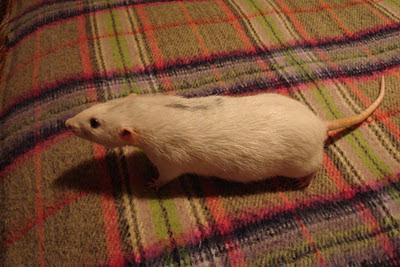 As nossas ratazanas DSC04844