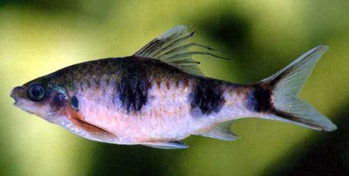Peixe do gênero Dawkinsia