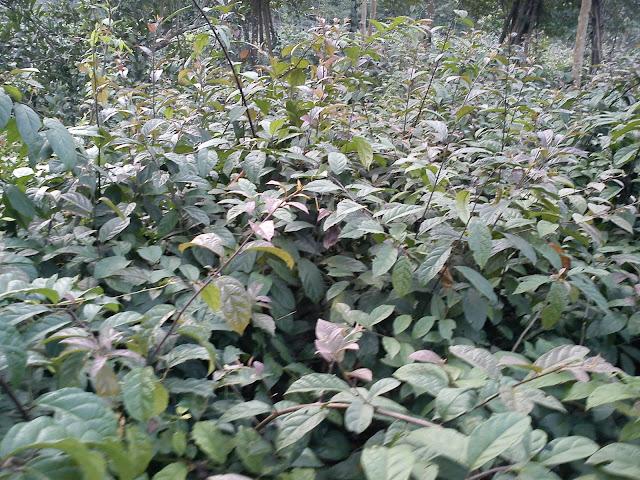 cây xạ đen, vườn cây xạ đen