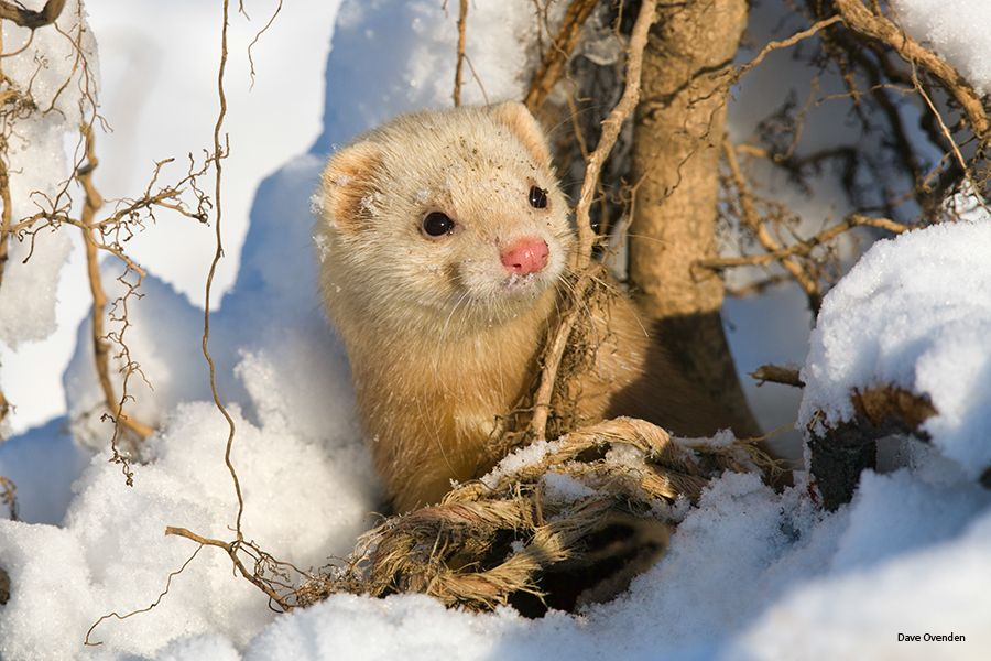 20. Curious Ferret by Dave Ovenden