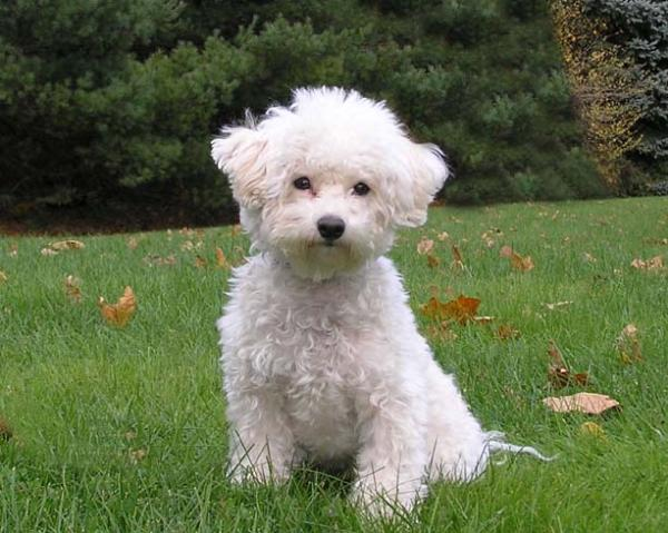 Bichon Frise Puppy Pictures and Information | Puppy Pictures and