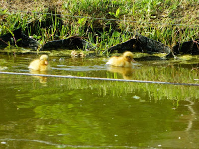 ducks, wordless wednesday