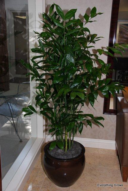Camaedorea falcifera palm