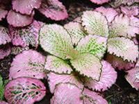 Fittonia albivenis 'Argyroneura minima'