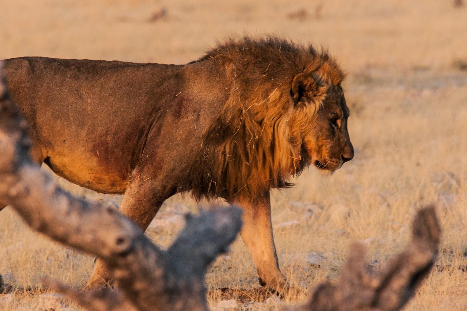 lion king namibia