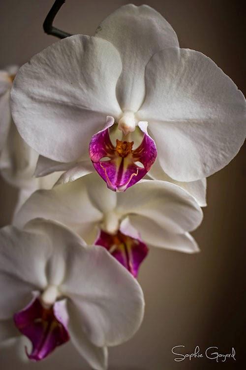 Phalaenopsis photographie