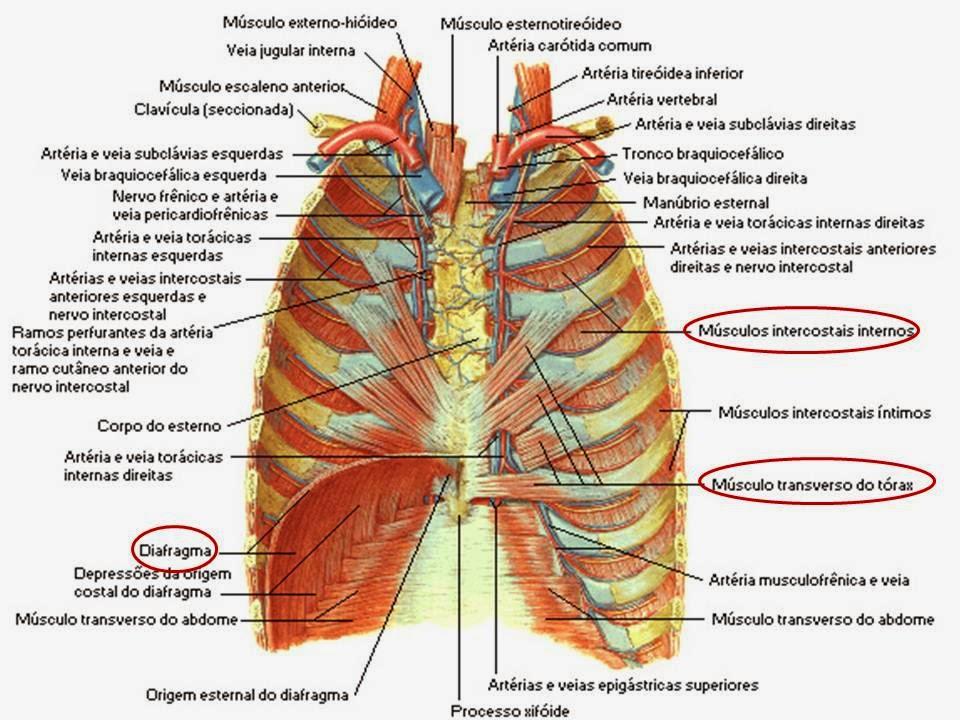Liga de anatomia ulbra t rax anatomia m sculo esquel tica for Esterno s r o