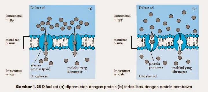 Difusi zat (a) dipermudah dengan protein (b) terfasilitasi dengan protein pembawa