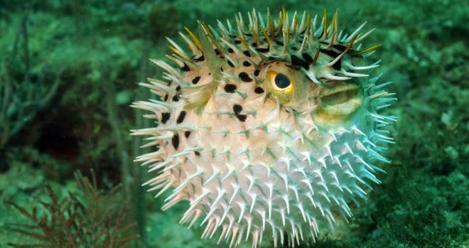 Hewan Laut Paling Berbisa