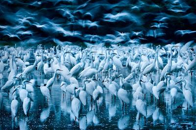 Kudich Zsolt, Repülő kócsagok, természetfotó, Big Picture, California Academy of Sciences