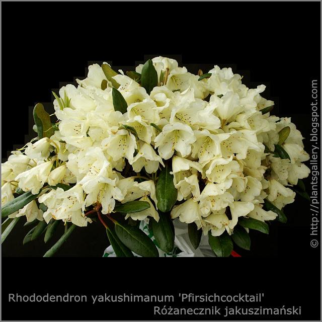 Rhododendron yakushimanum 'Pfirsichcocktail' -  Różanecznik jakuszimański 'Pfirsichcocktail' pokrój