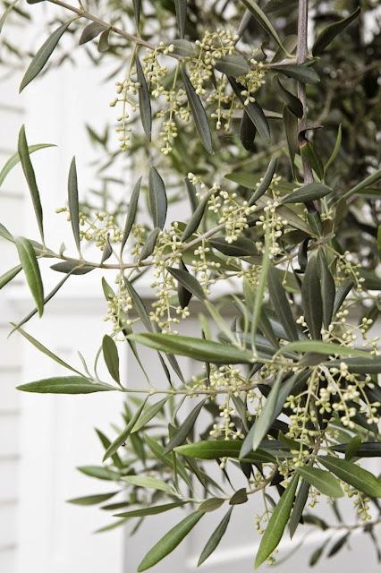 олива - отличный выбор для сада