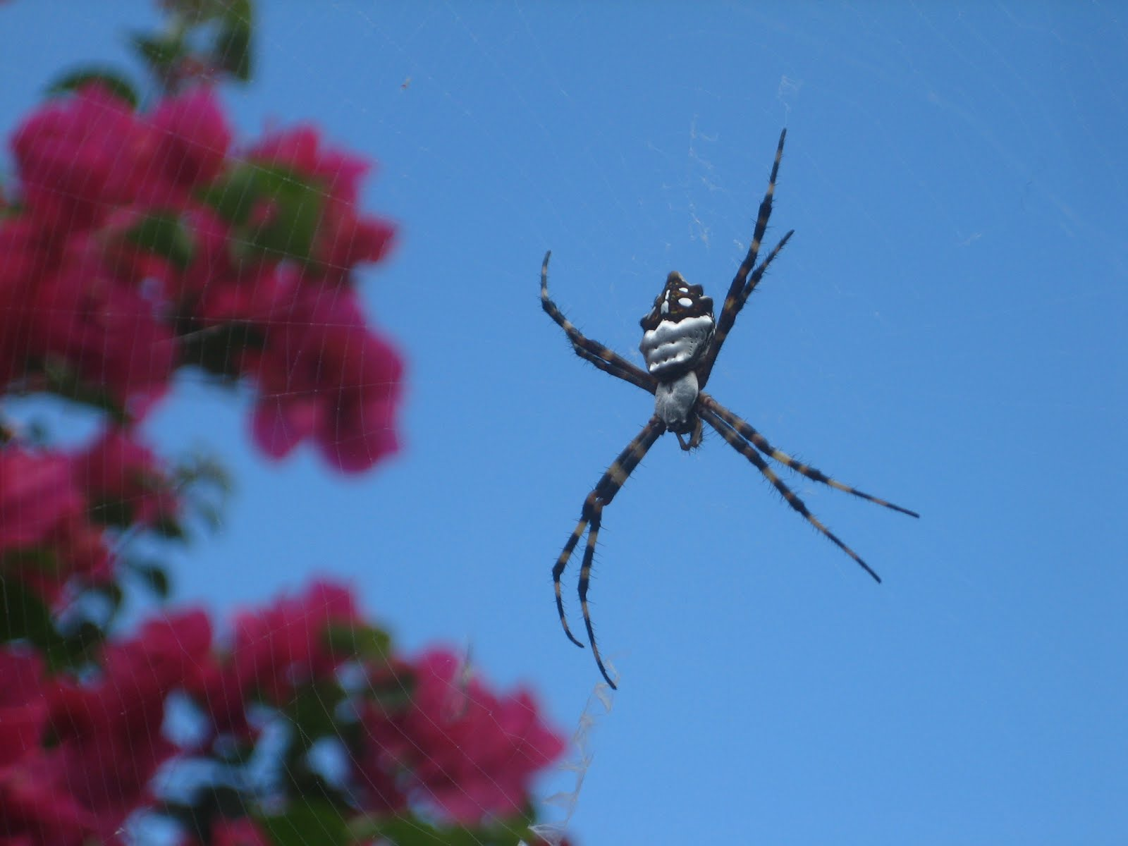 SPIDER BY THE BOUGANVILLEA SOUTH SIDE