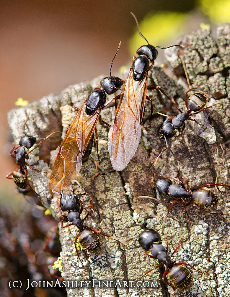 Winged carpenter ants (c) John Ashley
