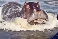 Hippo attacks the boat on the lake