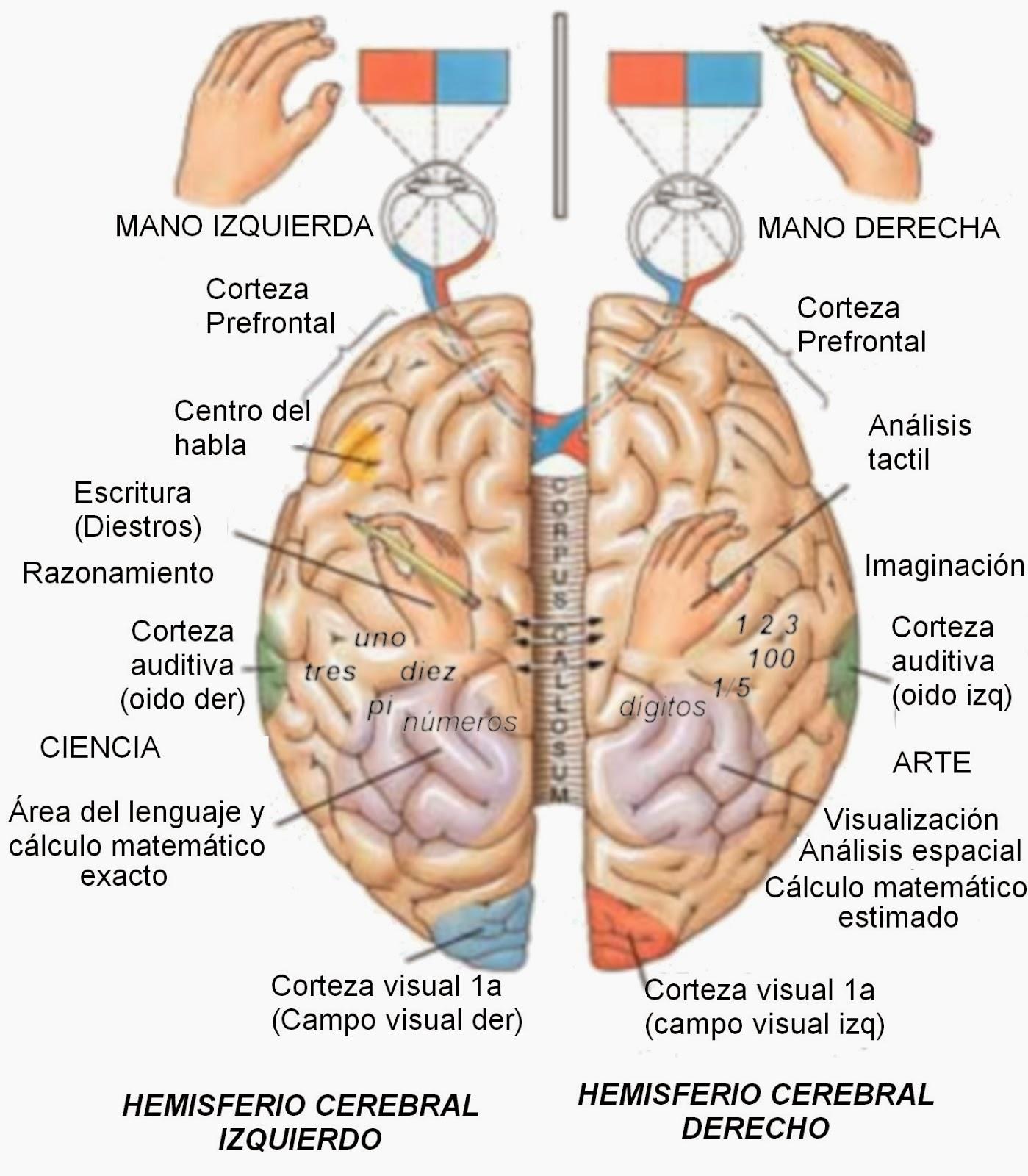 Excelente Partes Del Cerebro Humana Marcada Festooning - Anatomía de ...