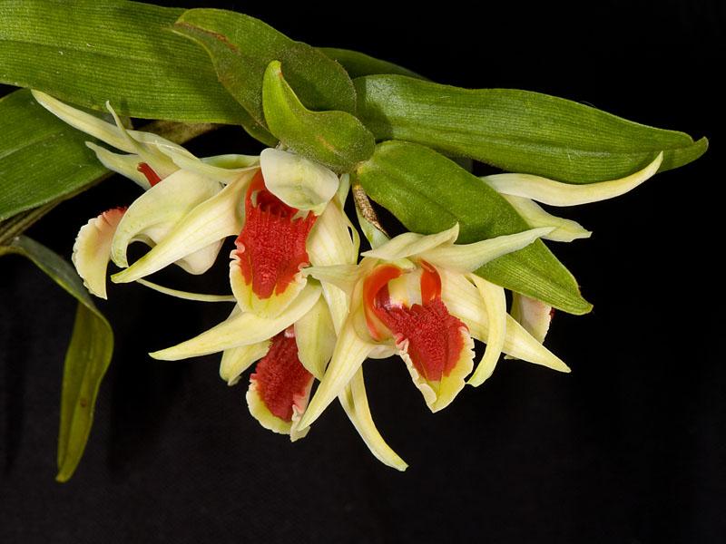 Dendrobium suzukii