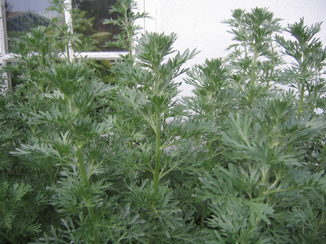 Chinese Wormwood Extract Kills 98% of Cancer Cells in 16 Hours