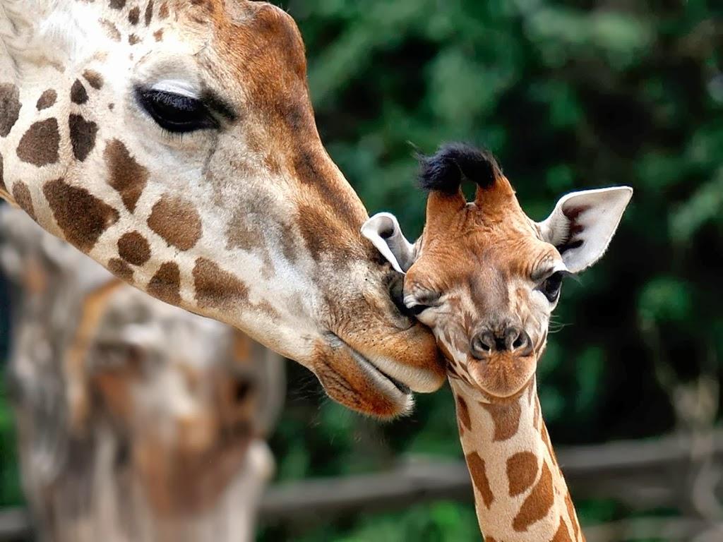 """<img src=""""http://4.bp.blogspot.com/-uTRIj1emP8k/UtlQBxFhPnI/AAAAAAAAIks/AKuMcN3yrPk/s1600/animal-wallpapers-giraffes-mother-love.jpeg"""" alt=""""giraffe mother love"""" />"""