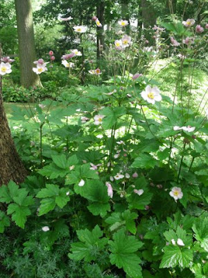September Charm Japanese anemone in a dappled shade garden by garden muses: a Toronto gardening blog
